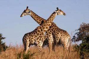 queremos verde 800px-Giraffe_Ithala_KZN_South_Africa_Luca_Galuzzi_2004