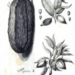 Botanical-Black-and-white-Cacao-engraving-1-1