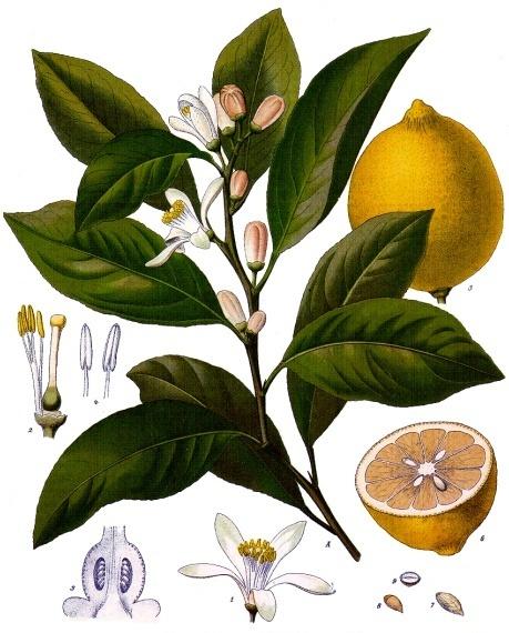 Limón - hojas, flores y fruto