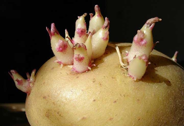 Patata con brotes. Fuente imagen Wikipedia - por Eugene Zelenko