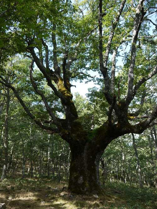 Roble milenario de la variedad Quercus Pyrenaica