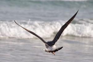Ave sobrevolando la playa con una ola rompiendo al fondo