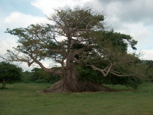 The_300-year-old_ceiba_tree,_Vieques,_Puerto_Rico