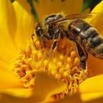 Qué pasaría si desaparecieran las abejas