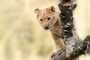 Cachorro de león subido aun tronco
