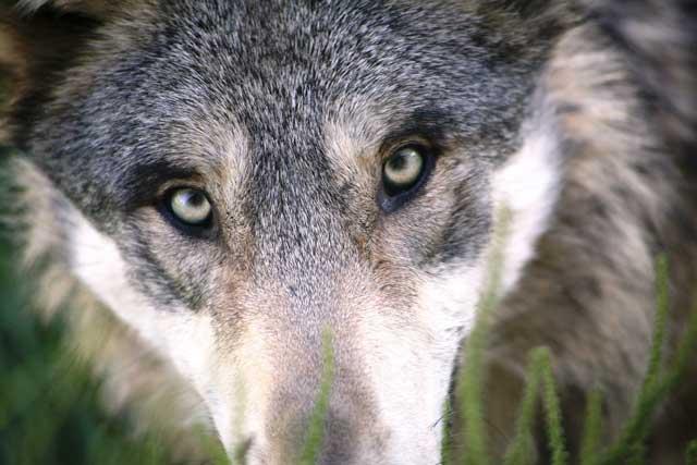 Lobo mirando fijamente a la cámara