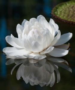 La serenidad que transmite una flor en un estanque