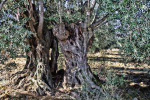 Olivos centarios con troncos retorcidos en un olivar