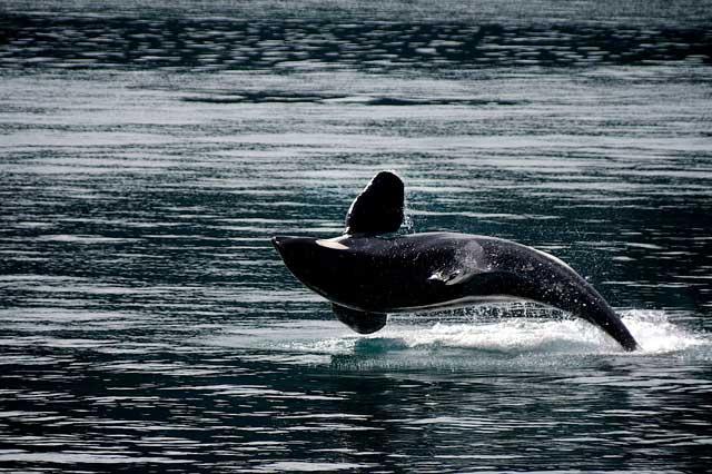 orca-ballena-asesina-saltando-en-el-oceano-aleta