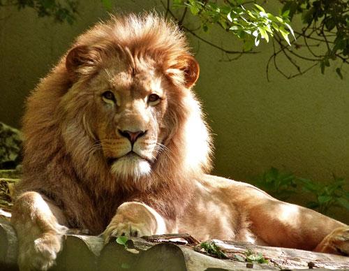 León tumbado descansando macho alfa